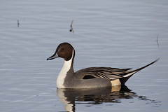 Northern Pintail - Anas acuta (Chris B@rlow) Tags: northernpintail anasacuta pintail anas bird birds ducks wildfowl waterfowl rspb leightonmoss leightonmossrspb lancashire canon7dmarkii sigma150600sport