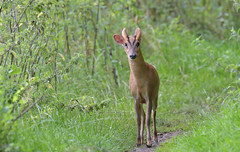 Good Morning! (KHR Images) Tags: muntjac deer muntiacusreevesi mature male buck wild mammal fendraytonlakes rspb cambridgeshire fens wildlife nature nikon d500 kevinrobson khrimages
