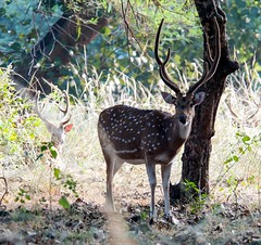 Spotted Deer (Jan Carhart Photography) Tags: india bandhavgarh bandhavgarhnationalpark wildlife buck deer spotted spotteddeer antlers landscape