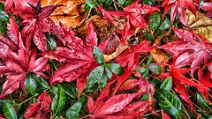 (RiteSpring) Tags: hd red green nature leaves
