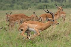 Impala (Ian.Kate.Bruce's Wildlife) Tags: impala aepycerosmelampus bovidae antelope aepyceros animal wildlife nature ianbruce katebruce masaimara kenya africa