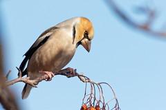 Hawfinch (Stu Price) Tags: hokkaido japan bird nature hakodate hawfinch