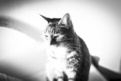 Lola (Reckless Times) Tags: black white blackwhite mono high highkey lola cat kitten bengal indoor indoors stripes nikon d750 365 project