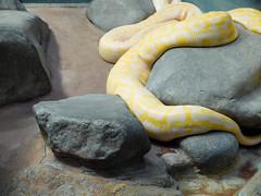 (Ute Kluge) Tags: stuttgart zoo snake python wilhelma
