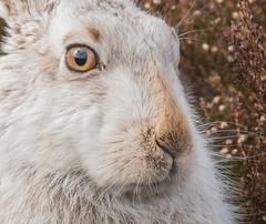Mountain Hare Portrait (Brent Hardy) Tags: mountainhare peakdistrict wildlife animals bbc springwatch winterwatch