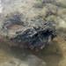Hollow-cheek stonefish (Synanceia horrida)