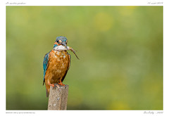 Le martin-pêcheur (BerColly) Tags: france auvergne puydedôme oiseau bird martinpêcheur europeankingfisher portrait poisson bokeh etang pond bercolly google flickr