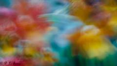 Rêverie florale en cinémascope 002 (letexierpatrick) Tags: rêverie fleurs flowers floraison bouquet nikon nikond7000 nature cof093 cof093red cof093ally cof093dmnq cof0932007