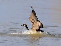 Canada Goose, Branta canadensis (5) (Herman Giethoorn) Tags: canadagoose waterfowl