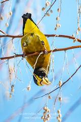 Whatever It Takes (TNWA Photography (Debbie Tubridy)) Tags: winter birds colorado eveninggrosbeak wild nature natural reaching perched activity grosbeak behavior habitat foraging feedinghanging
