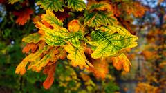 Eiche Herbstlaub (Chridage) Tags: baum tree herbst autumn november laub blätter foliage oak luminar luminar4 canoneos700d