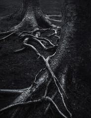 Encroaching Neighbour (Glenn D Reay) Tags: roots trees wierd spooky monochrome woodland tree sigma1770hsm pentaxart pentax k70 glennreay