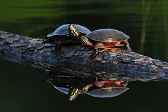 OzzieAndHarriet1SmallerD (Rich Mayer Photography) Tags: turtles turtle log water lake stream wild life wildlife animal animals nature nikon