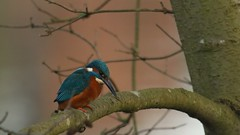 Kingfisher - male, 22012020, 05 f (alanblunden) Tags: wildbird riverwitham bird alongtheriver wildlife grantham wild granthamsriversidewalkcycleway park river lloydramsdenwalk red blue water nature kingfisher kingfishermale winter winter201920 january january2020