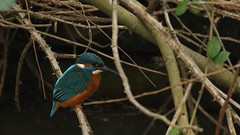 Kingfisher - male, 22012020, 03 f (alanblunden) Tags: wildbird riverwitham bird alongtheriver wildlife grantham wild granthamsriversidewalkcycleway park river lloydramsdenwalk red blue water nature kingfisher kingfishermale winter winter201920 january january2020