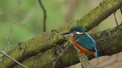 Kingfisher - male, 22012020, 02 f (alanblunden) Tags: park blue red wild bird water river wildlife grantham wildbird lloydramsdenwalk granthamsriversidewalkcycleway winter nature january kingfisher kingfishermale january2020 winter201920 alongtheriver riverwitham