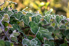 SJ2_0843  - A touch of frost... (SWJuk) Tags: swjuk uk unitedkingdom gb britain england lancashire burnley home canal towpath ivy leaves frost sunlighht shadows 2020 jan2020 winter nikon d7200 nikond7200 nikkor1755mmf28 closeup rawnef lightroomclassiccc