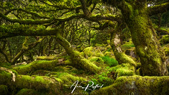 Wistmans Wood II [Explored] (Aron Radford Photography) Tags: yellow wistmans wood tree anciant oak leaves moss landscape dartmoor rocks bolders green lush micro climate uk nature no people