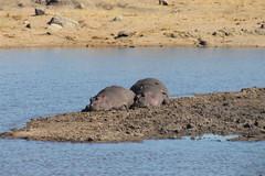 Hippopotamus (Rckr88) Tags: krugernationalpark southafrica kruger national park south africa hippo hippopotamus hippos water lake lakes dam dams nature naturalworld animals animal travel travelling