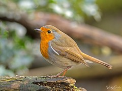 Robin PF 8748 (vickyoutenphoto) Tags: vickyouten robin wildlife nature nikon nikond7200 sigma sigma150600mmc penningtonflash leigh uk