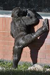 Gorilla Baby (nickym6274) Tags: twycrosszoo twycross atherstone leicestershire zoo uk animal gorilla ape baby exercise nikond7500 nikon70300mm