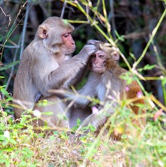 Rhesus Macaque Monkey with Baby (Jan Carhart Photography) Tags: india bandhavgarh bandhavgarhnationalpark wildlife rhesus macaque monkey mother baby grey gray animal pickingnits