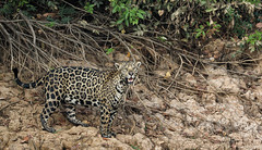 Checking For The Best Spot ... (AnyMotion) Tags: jaguar pantheraonca onçapintada cat cats katzen katze ontheriverbank amufer river fluss 2019 anymotion sãolourençoriver pantanal matogrosso brazil brasilien southamerica südamerika américadosul travel reisen animal animals tiere nature natur wildlife 7d2 canoneos7dmarkii jaguarmorninghunt