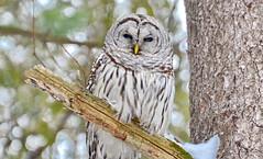 Barred Owl in Ontario, Canada (Frame To Frame - Bob and Jean) Tags: barred barredowl birdsighting birder original photographer ontario canada forest wildlife wilderness outdoors tree sitting