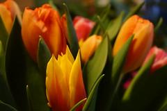 DSC06774 (2) (rolfjanove) Tags: sweden nature flowers tulip sony a7 pz1650 rolfjanove