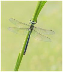 Emperor - Anex imperator. (nigel kiteley2011) Tags: emperor apeximperator dragonfly nature wildlife macro canon