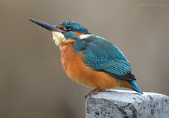 Thinking (MoGoutz) Tags: bird small madytos new volvi lake μάδυτοσ νέα βόλβη λίμνη kingfisher common atthis alcedo αλκυόνη