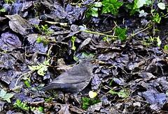 Camouflage expert (TomIestyn) Tags: jubileepark dunmurry belfast northernireland leaves ground bird camouflage