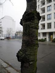 Der Baum. / 22.01.2020 (ben.kaden) Tags: berlin schöneberg elselaskerschülerstrase 2020 22012020