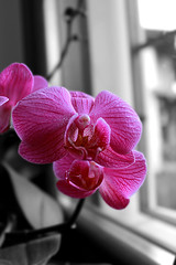 orchidee (desterchiara) Tags: orchidee orchids home december flowers blackandwhite colors loving pink house windows canon