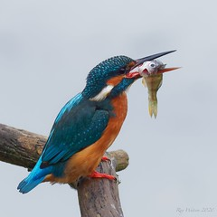 Kingfisher with a Perch (legoman1691) Tags: kingfisher perch fish bird nature wildlife wildbird naturephotography wildlifephotography