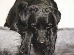 24/366 AND 4/52 -Being a labrador is exhausting (d2roberts) Tags: dunkel squishyface 24366 dog labrador portrait