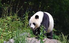 Coming (AvesAg) Tags: berlin zoo zooberlin canon eos eosr r ailuropodamelanoleuca giantpanda groserpanda bambusbär panda mengmeng carnivore vulnerable bär bear 大熊猫