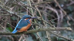 Kingfisher - male, 23012020, 01 f (alanblunden) Tags: park blue red wild bird river wildlife grantham wildbird wyndhampark lloydramsdenwalk granthamsriversidewalkcycleway winter nature water january kingfisher kingfishermale january2020 winter201920 alongtheriver riverwitham