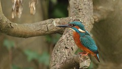 Kingfisher - male, 22012020, 01 f (alanblunden) Tags: wildbird riverwitham bird alongtheriver wildlife grantham wild granthamsriversidewalkcycleway park river lloydramsdenwalk red blue water nature kingfisher kingfishermale winter winter201920 january january2020