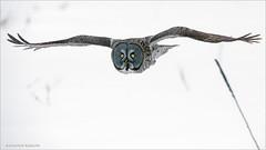 Great Gray Owl in flight (Raymond J Barlow) Tags: ggo greatgreyowl quebec nature naturallight snow birdinflight owl flight workshop phototours raymondbarlowphototours