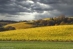 Yamhill Valley Vineyard (wwaldridge) Tags: agriculture autumn farm road vineyard oregon usa