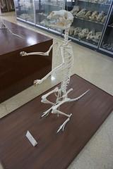 Museo Anatómico de Valladolid - Esqueleto de canguro (Kaledor Photos) Tags: españa spain europa europe valladolid castillaleón museo museoanatómicodevalladolid esqueleto skeleton canguro kangaroo