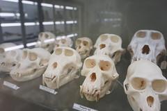Museo Anatómico de Valladolid - Cráneos de primates (Kaledor Photos) Tags: españa spain europa europe valladolid castillaleón museo museoanatómicodevalladolid esqueleto skeleton primate mono monkey