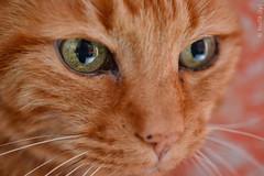 Remì (biom73) Tags: eyes macro nikon chat gatos katzen cat gingercat