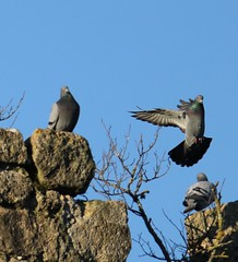 Pigeon biset (chriscrst photo66) Tags: bird animal oiseau pigeonbiset gironde aquitaine photographie nature wildlife ornithologie ornithology canon