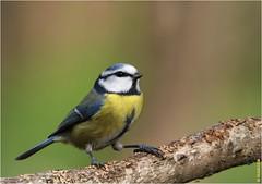 Mésange bleue (boblecram) Tags: oiseau sauvage wild nature bird passereau mésange bleue cyanistes caeruleus