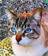 Cara de gatito lindo. (In Dulce Jubilo) Tags: gato cat andalusia andalucia animal animals kitten cute ojos eyes cara face carita azul blues espagne españa spanien spain