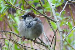 House Sparrow (hedgehoggarden1) Tags: housesparrow birds wildlife nature creature animal sonycybershot norfolk eastanglia uk sony bird