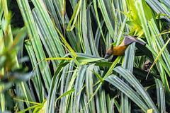 LA VOLPE VOLANTE   ---   FRUIT BAT    ----    EXPLORE (Ezio Donati is ) Tags: animali animals natura nature alberi trees palma palm foresta forest acqua water laguna lagoon westafrica costadavorio lagunedeaby ileseholite areaasiinie nikond500 nikon200500mm