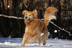 Balancing Act (Diane Marshman) Tags: thedude the dude goldenretriever large dog breed brown tan fur coat playing stick branch action motion winter season snow pa pennsylvania pet companion